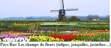 Pays Bas: Les champs de fleurs (tulipes,jonquilles,jacinthes...)